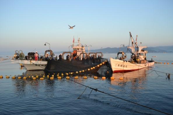 現在の定置網漁の様子。漁師が並んで網起こしをする左の船が網取り船
