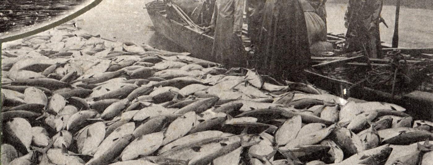 上庄川右岸、北ノ橋北詰の問屋に水揚げされたブリ。横付けされている船はドブネ。